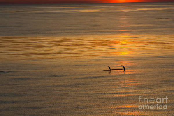 Dolphin Sunset Art Print