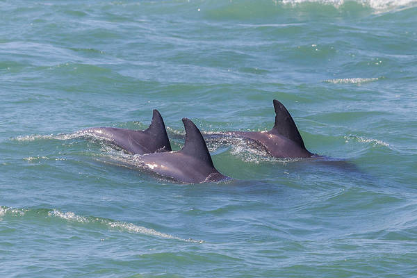 Photograph - Dolphin Trio by Paul Schultz