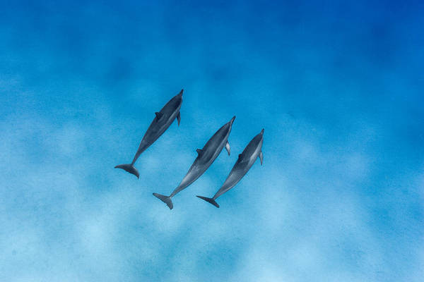 Dolphin Photograph - Dolphin Trio by Sean Davey