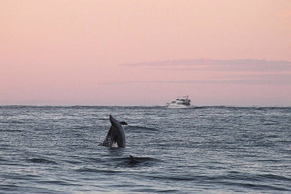 Photograph - Dolphins At Play by Robert Banach