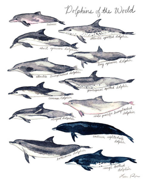 Save The Whales Wall Art - Painting - Dolphins Of The World Illustrated Chart Nautical Marine Biology Ocean Life by Laura Row