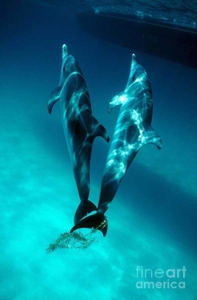 Photograph - Dolphins Playing With Seaweed by Lawrence Naylor