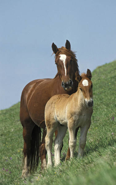Mare And Foal Photograph - Domestic Horse Equus Caballus Mare by Konrad Wothe