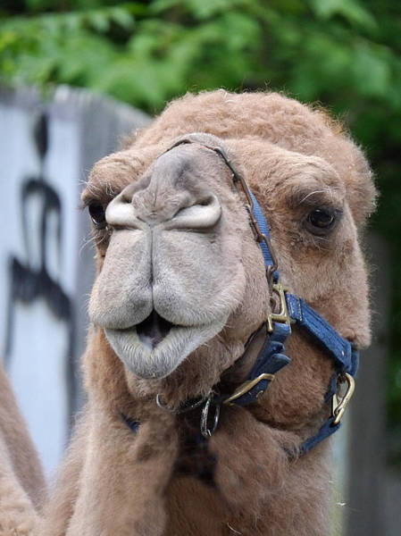 Photograph - Dominica Camel by Richard Reeve