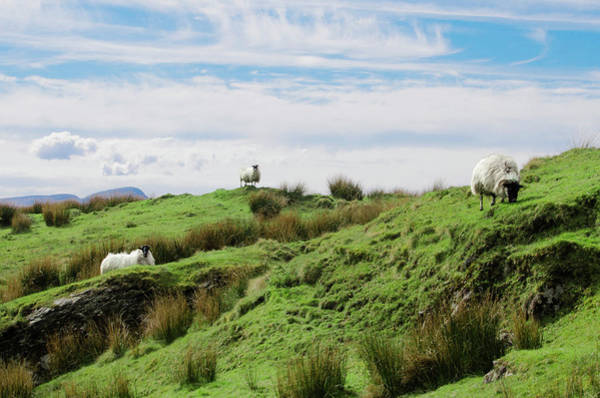 Photograph - Donegal Ireland - Sheep Grazing On The Mountain  by Bill Cannon