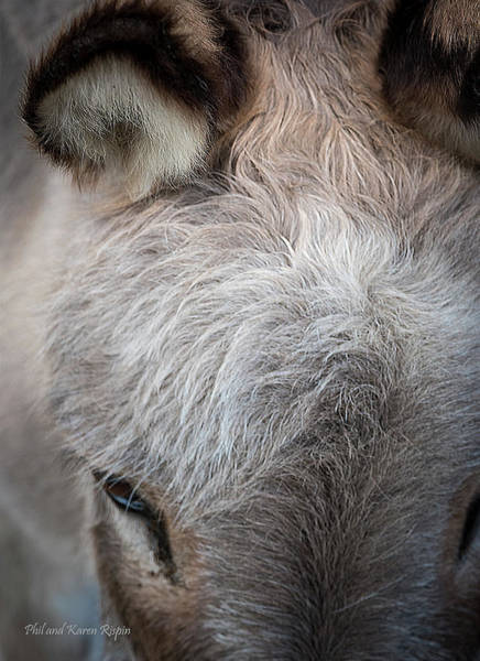 Photograph - Donkey As Landscape by Philip Rispin