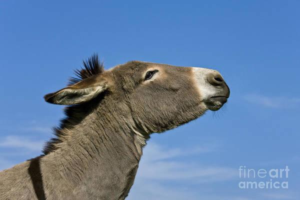 Equus Africanus Photograph - Donkey Demanding A Treat by Jean-Louis Klein & Marie-Luce Hubert