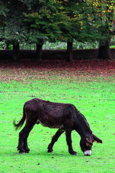 Photograph - Donkey by Edgar Laureano