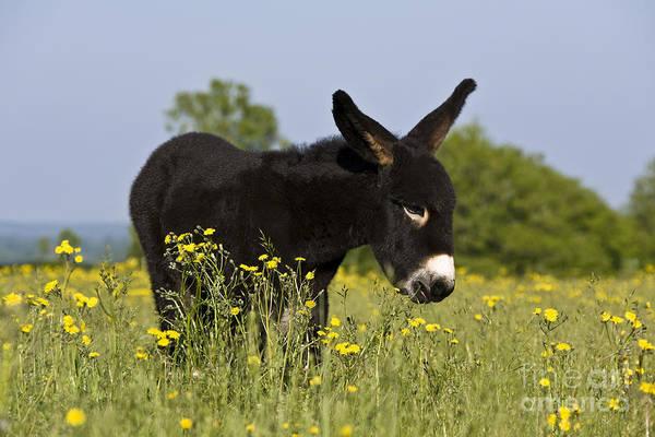 Equus Africanus Photograph - Donkey Foal by Jean-Louis Klein & Marie-Luce Hubert