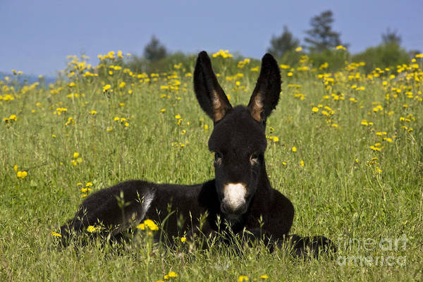 Equus Africanus Photograph - Donkey Foal Resting by Jean-Louis Klein & Marie-Luce Hubert