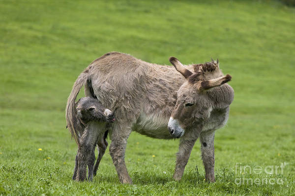 Equus Africanus Photograph - Donkey Mother And Young by Jean-Louis Klein & Marie-Luce Hubert