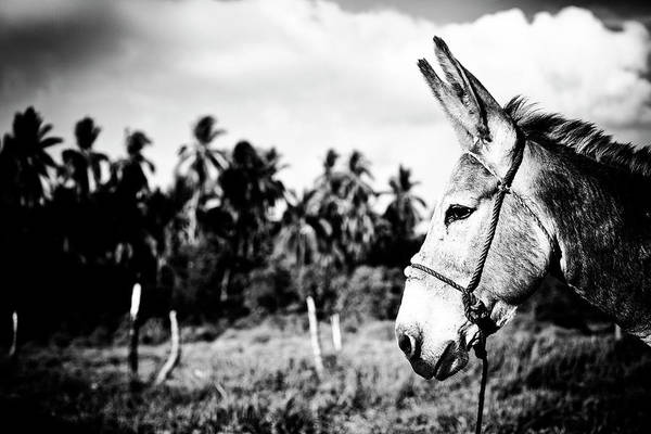 Photograph - Donkey by Nik West