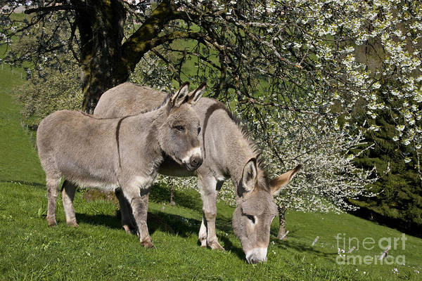 Equus Africanus Photograph - Donkeys In A Meadow by Jean-Louis Klein & Marie-Luce Hubert