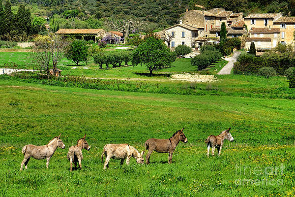 Photograph - Donkeys In Provence by Olivier Le Queinec