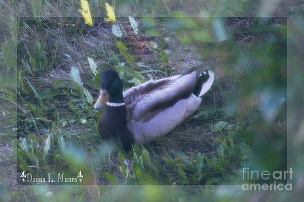 Photograph - Donna's Yard Duck by Donna L Munro