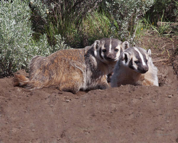 Photograph - Don't Badger Us by Gerry Sibell