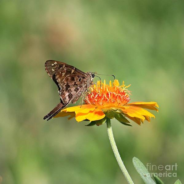 Photograph - Dorantes Skipper On Yellow Flower by Carol Groenen