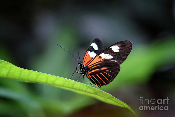 Photograph - Doris Longwing Butterfly 2017 by Karen Adams