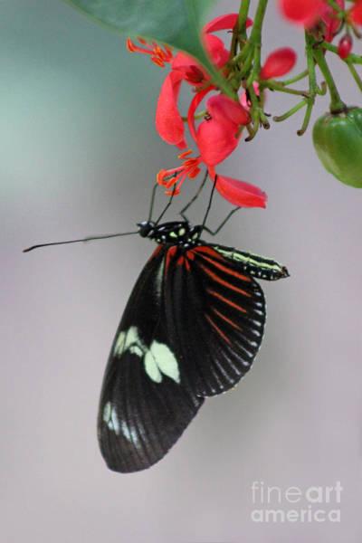 Photograph - Doris Longwing Butterfly by Karen Adams