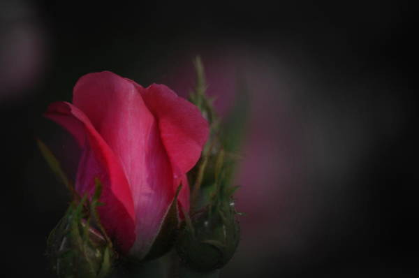 Photograph - Dorothy's Rose by Trish Tritz