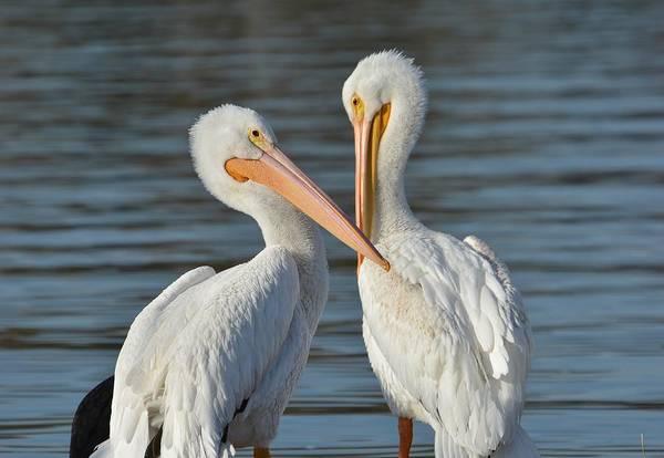 Photograph - Dos Pelicanos  by Fraida Gutovich
