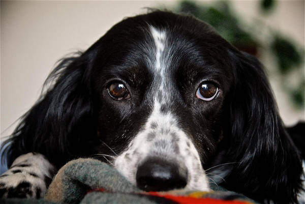 Photograph - English Setter Eyes by Flying Z Photography by Zayne Diamond