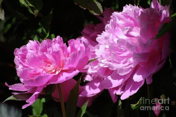 Photograph - Double Beauties by Victor K