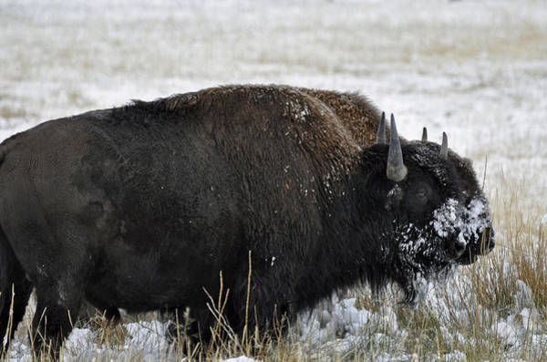 Photograph - Double Bison by Bruce Gourley