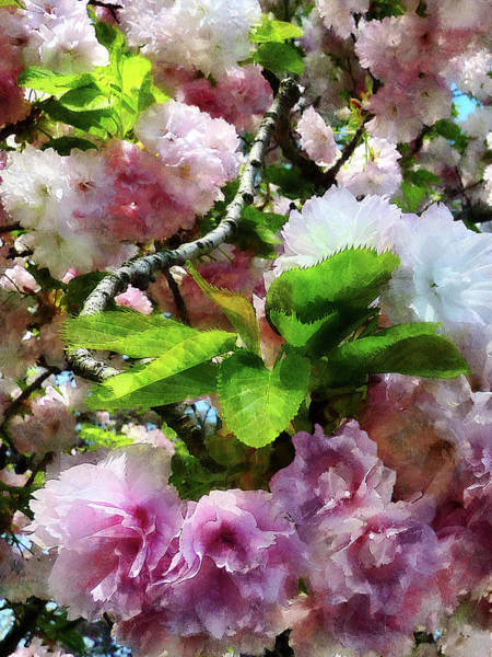 Photograph - Double Cherry Blossoms by Susan Savad