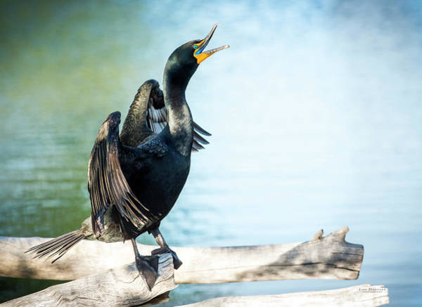 Photograph - Double-crested Cormorant by Judi Dressler
