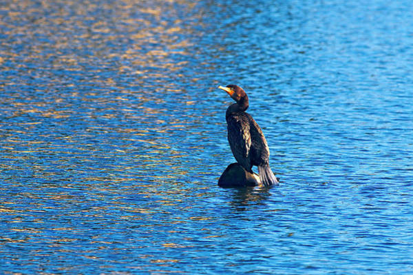 Phalacrocorax Auritus Wall Art - Photograph - Double-crested Cormorant On Blue by Sharon Talson