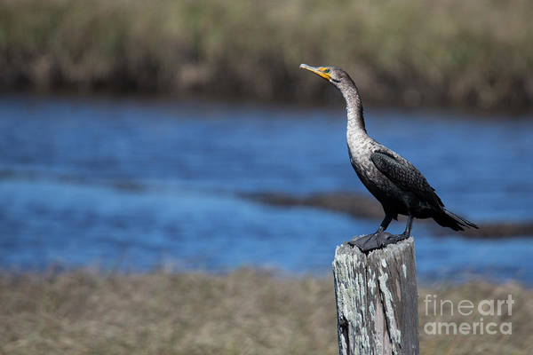 Double Crested Cormorant Photograph - Double-crested Cormorant by Twenty Two North Photography