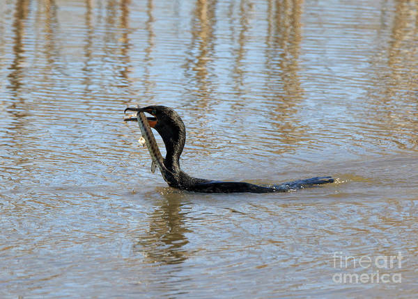 Double Crested Cormorant Photograph - Double Crested Cormorant With Florida Gar by Louise Heusinkveld