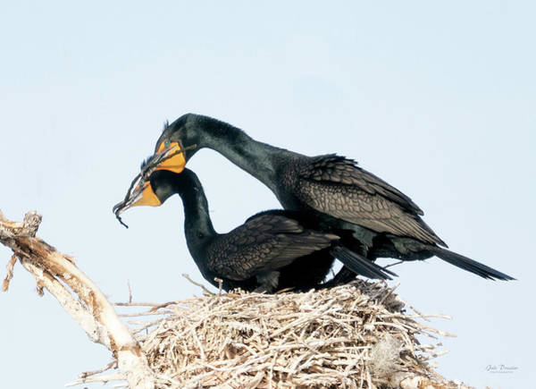 Photograph - Double-crested Cormorants Nest Building by Judi Dressler