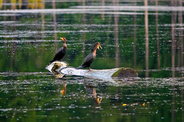 Double Crested Cormorant Photograph - Double-crested Cormorants On A Log by Sharon Talson
