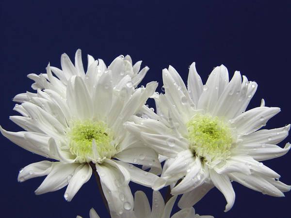 Photograph - Double Dahlia by Ree Reid