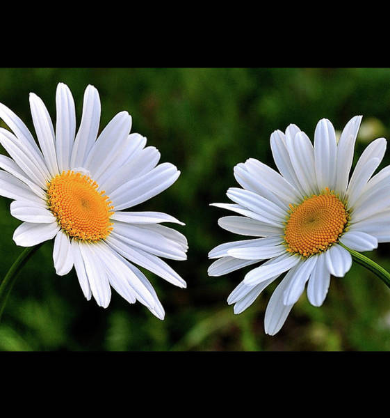 Photograph - Double Daisies by Mark Fuller