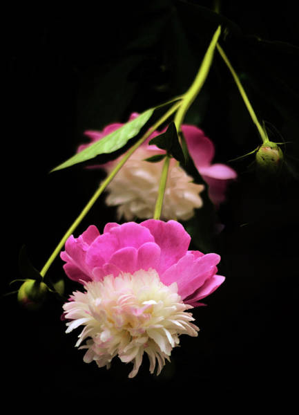 Magenta Photograph - Double Dip by Jessica Jenney