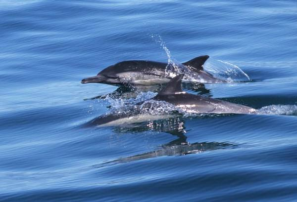 Double Dolphins And Reflections Art Print