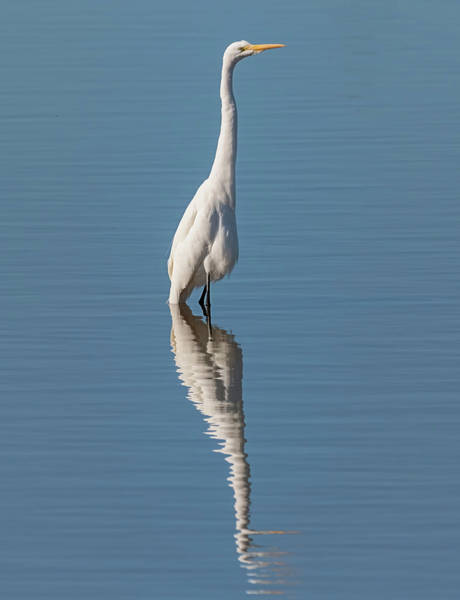 Photograph - Double Egret by Loree Johnson