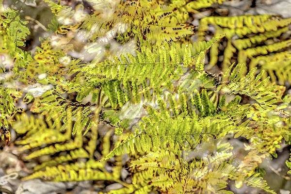 Photograph - Double Ferns by Jerry Sodorff