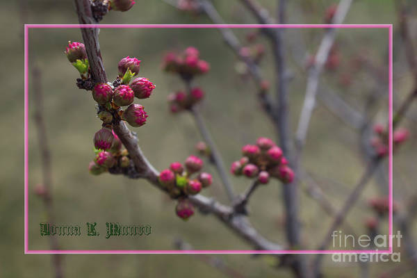 Photograph - Double Flowering Plum Bud by Donna L Munro
