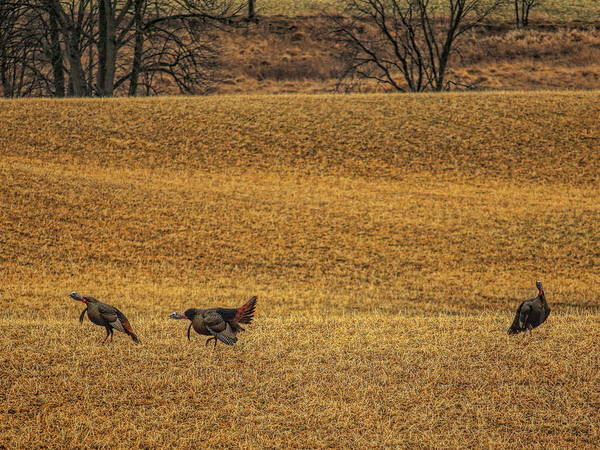 Photograph - Double Gobble by Dale Kauzlaric