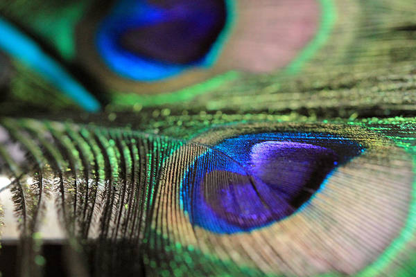 Photograph - Double Peacock Feather by Angela Murdock