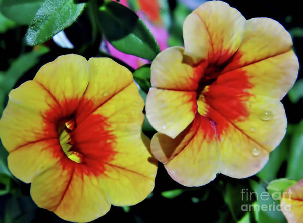 Photograph - Double Petunias by D Hackett