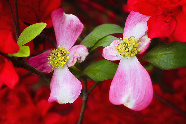 Photograph - Double Pink Dogwood by Ken Barrett