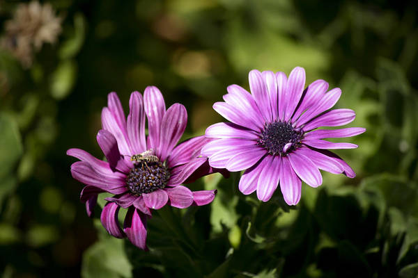 Wall Art - Photograph - Double Purple African Daisy by Teresa Mucha