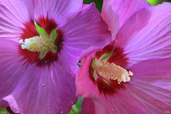 Photograph - Double Rose Of Sharon by Lisa Wooten