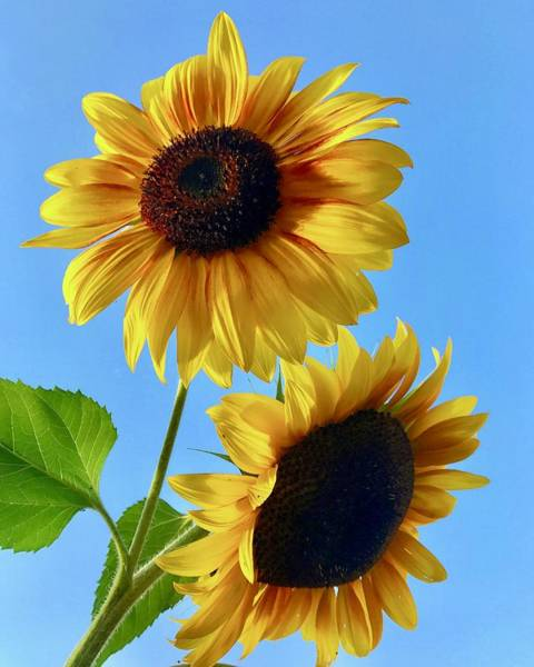 Photograph - Double Sunflower by Brian Eberly