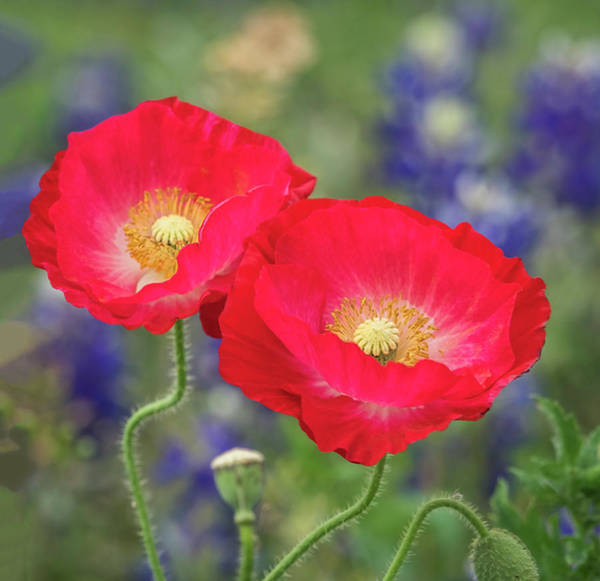 Photograph - Double Take-two Red Poppies. by Usha Peddamatham